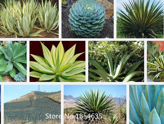 (100 pieces / lot), Agave seeds, potted balcony, planting season