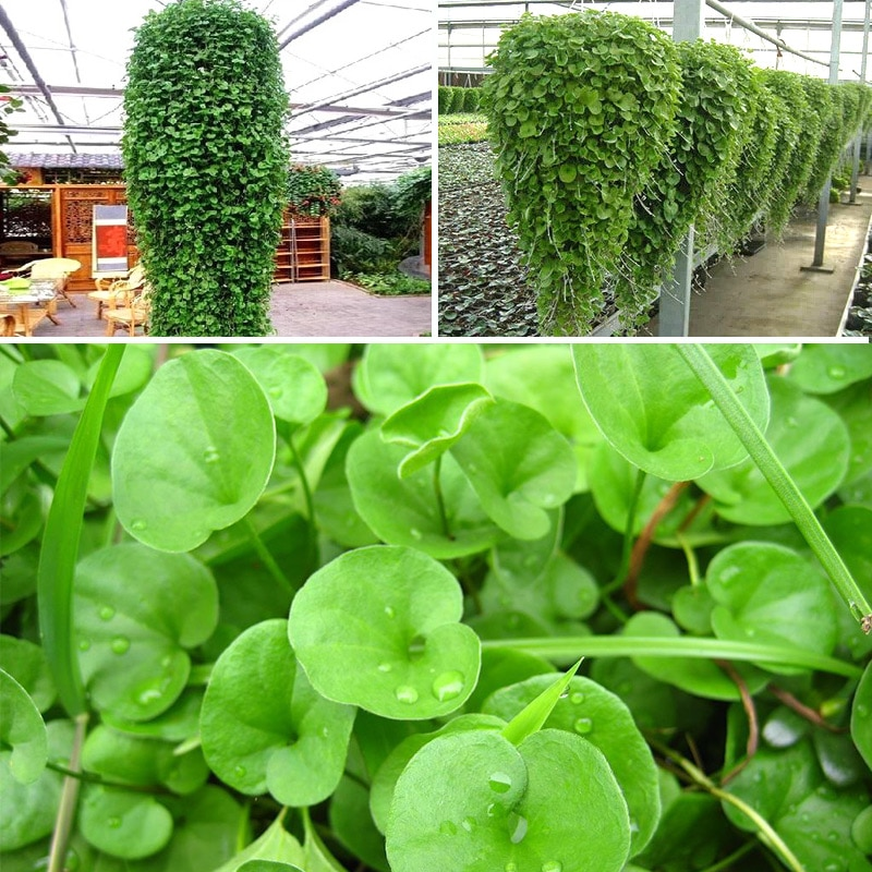 Seeds Money Grass Seed Dichondra Micrantha 100PCS Seeds Dichondr