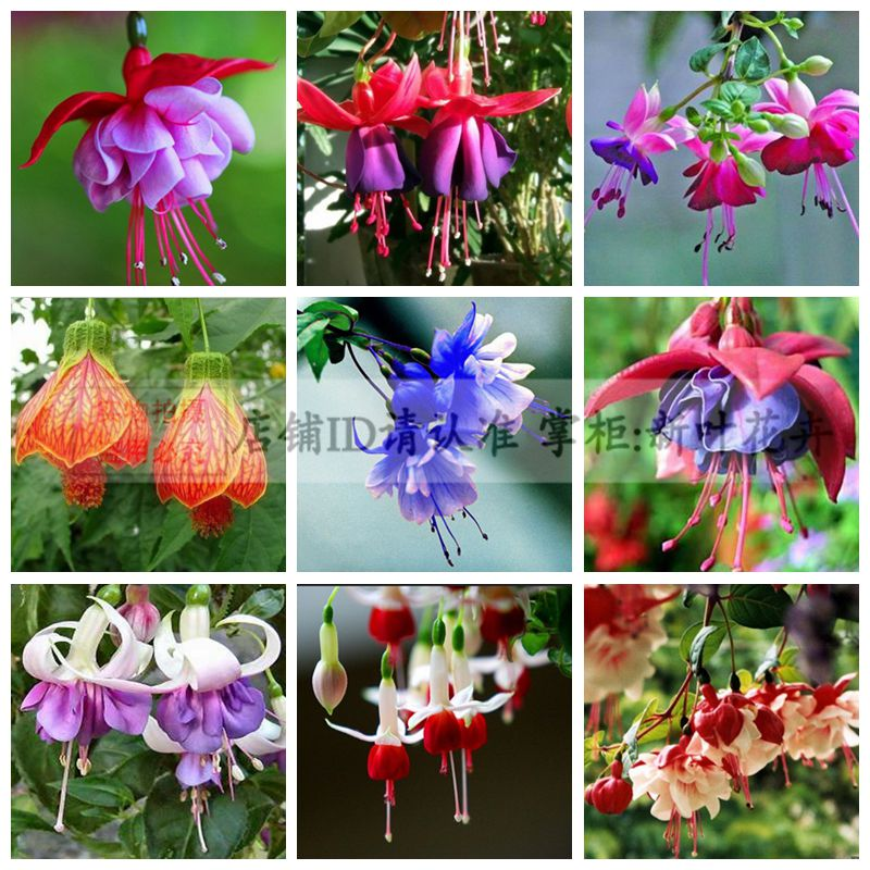 Seeds Lantern Flower Indoor Balcony Bonsai Seed Flowers Sseeds -
