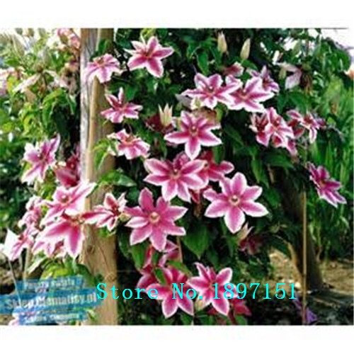 (100 pieces/bag) Vines, climbing flower seeds , clematis hybrida