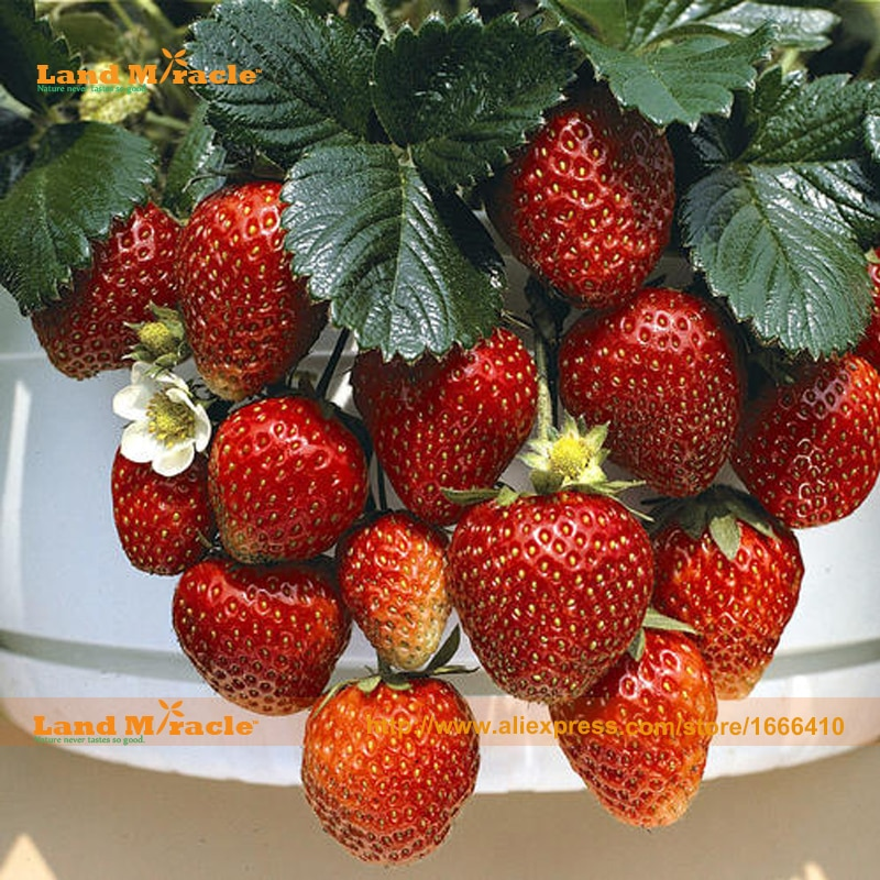 'Rome' Strawberry Seed, 100 Seeds/Pack, Very Tasty RED BERRIES,