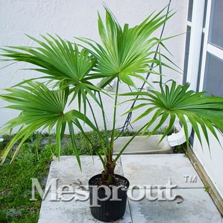 'Little Forest' Chinese Fan Palm (livistona chinensis) Seeds,10P