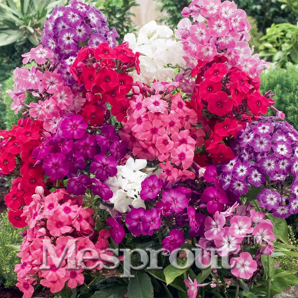 ! 100pcs Bonsai Balcony Flower Phlox Seeds Sky Blue DIY Home Gar