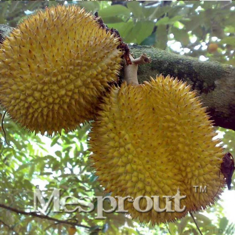 ! 5pcs A Lot Rare Durian Trees Seeds Delicious King Of Fruit See