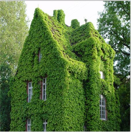 ! 100pcs BOSTON Ivy Seeds 100% Original japanese Creeper Seeds G